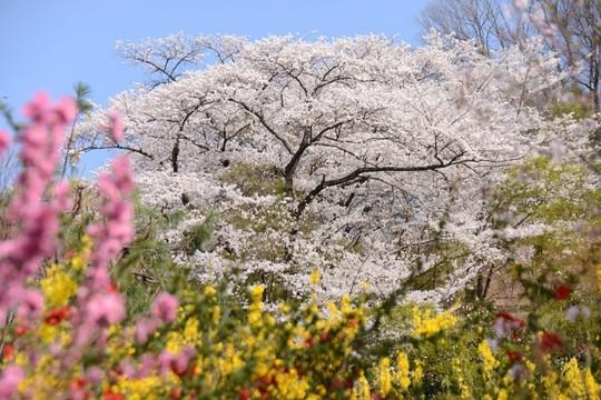 201804051445 桜 桃 w1024 DSC_0715.jpg