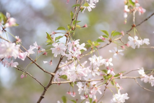 201804051527 十月桜 w1024 DSC_0834.jpg