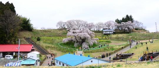 201804060943 滝桜 向かい側から w1024 DSC_1003.jpg