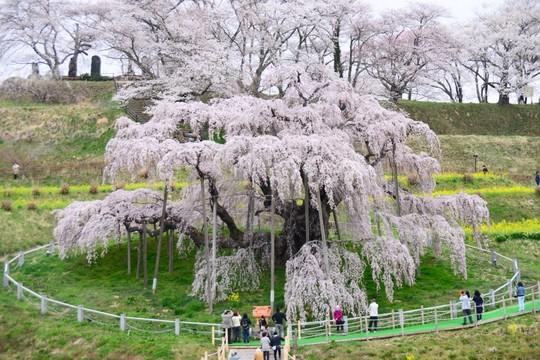 201804060944 三春町滝桜 w1024 DSC_1007.jpg