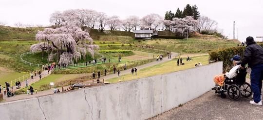 201804060946 滝桜上から w1024 DSC_1012.jpg