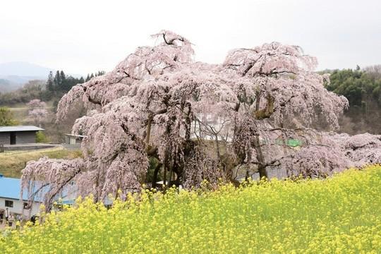 201804060958 三春町滝桜 上から w1024 DSC_1065.jpg