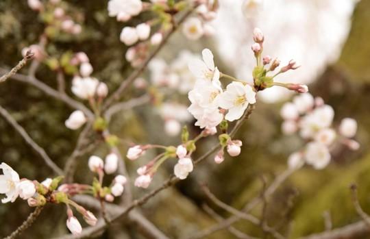201804061001 上の桜 w800 DSC_1077.jpg