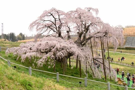 201804061034 三春町滝桜 w1024 DSC_1238.jpg