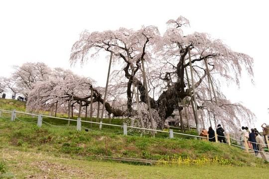 201804061036 三春町滝桜 w1024 DSC_1242.jpg