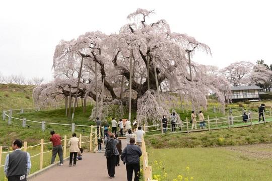 201804061038 三春町滝桜 w1024 DSC_1260.jpg