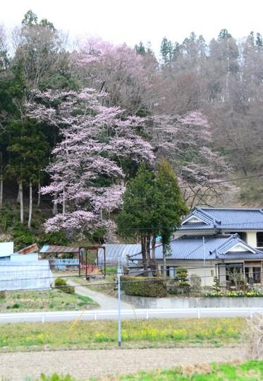 201804061302 福田寺のしだれ h900 DSC_1324.jpg