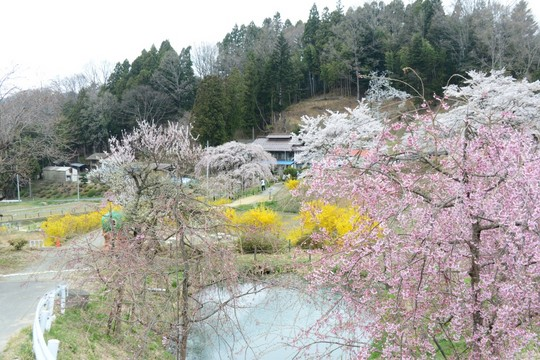 201804061403 中島の地蔵桜 w1024 DSC_1448.jpg