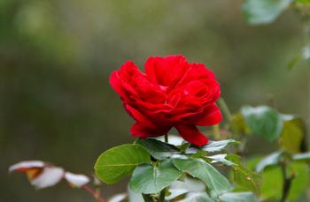 201610181340 赤いバラ w800 DSC01769.jpg