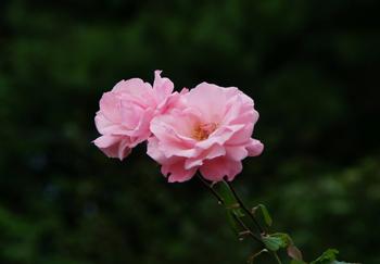 201610181345 ピンクのバラ w800 DSC01782.jpg