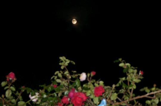 201611141845 super moon and rose w800 DSC03801.jpg