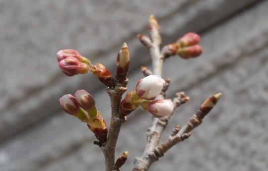 201803251051 暖地桜桃か中国黄桃2 w1024 P1210942.jpg
