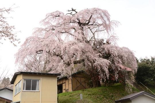 201804061227 三春町薬師桜 w1024 DSC_1294.jpg