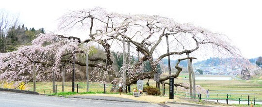 201804061410 中島の地蔵桜 w1024 DSC_1478.jpg