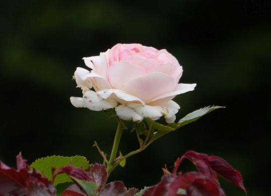 201806171724 薔薇 w1024 P1270335.jpg