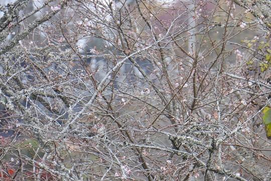 201811220940 初冬の桜 w1024 P1340573.jpg