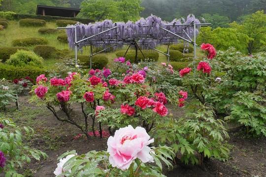 201905151221 花泉牡丹園 W1024 P1460857.jpg