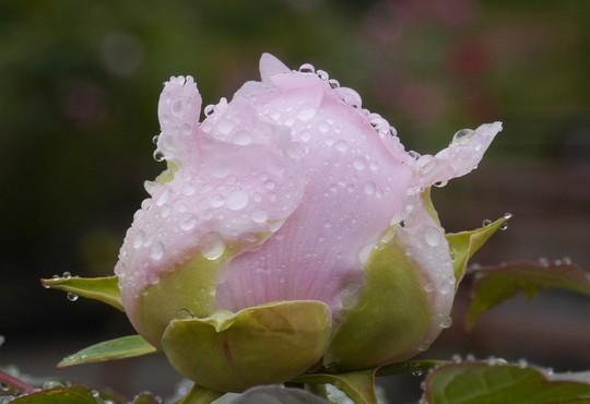 201905151302 薄いピンクの蕾 w1024 P1470052.jpg
